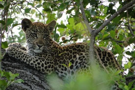 Gomo Gomo Game Lodge: Leopardo de unos 6 meses