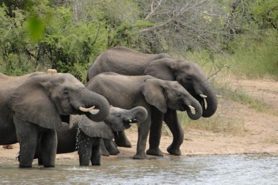 Gomo Gomo Game Lodge: Elefantes frente al lodge