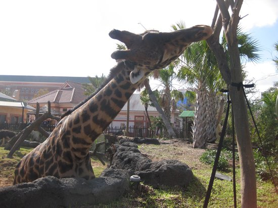 Houston Zoo: giraffe