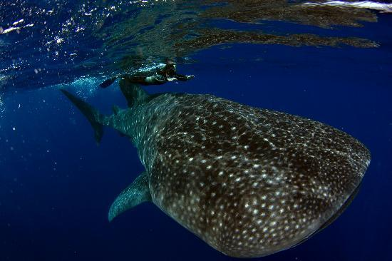 Kona Diving Company: Divemaster Kerry with the whale shark.