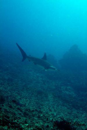 Kona Diving Company: A hammerhead!