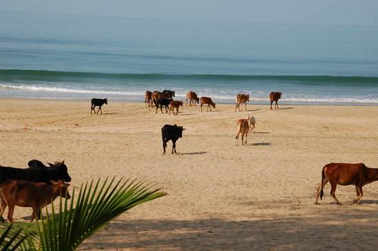 Agonda, Indien: Cows on the beach, a familiar scene in India