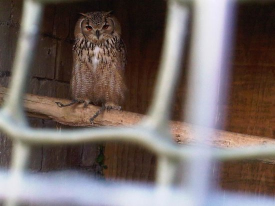 West of England Falconry: Eagle Owl