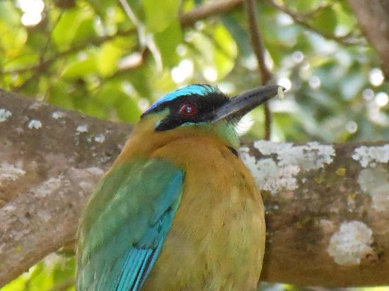 Casa de las Tias : Back yard visitor, the blue-crowned mot mot