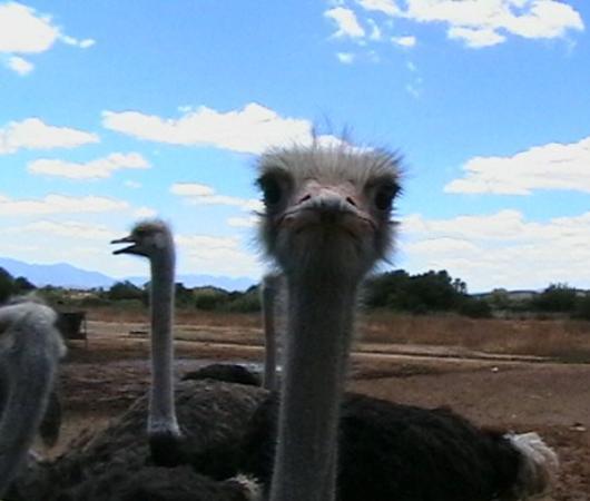 Oudtshoorn, Sudafrica: Strauße sind neugierig