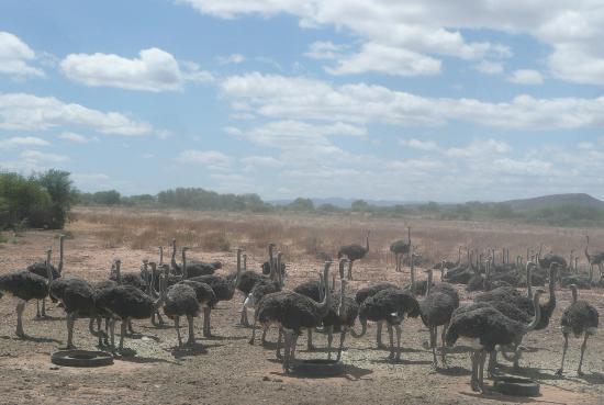 Oudtshoorn, Sudafrica: junge Strauße