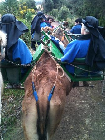 Camello Center: Line of camels