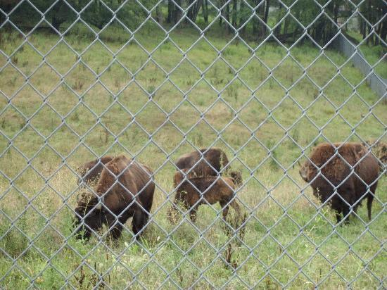 South Park: Bison in the enclosure