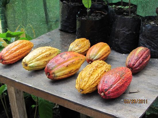 Boucan by Hotel Chocolat: Different types of cocoa pods grown on estate