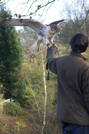 Baginton, UK : Ferruginous Hawk