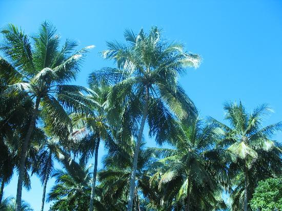 Albatros Condo Hotel : Palmiers sur le site