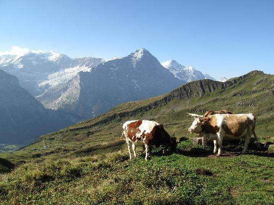 First: cows and mountain