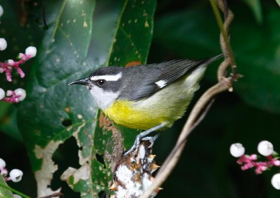 Nature Specialist Tours: Bananaquit