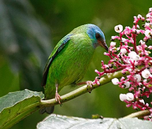 Nature Specialist Tours: Blue Dacnis - female