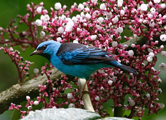 Nature Specialist Tours: Blue Dacnis - male