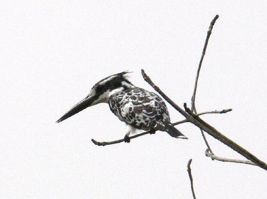 Bakotu Hotel: pied kingfisher hunting at the stream