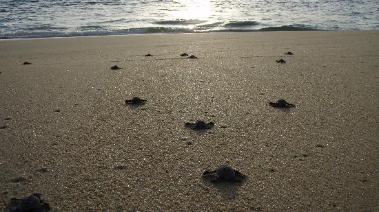 El Angel Azul Hacienda: Turtle release in Todos Santos