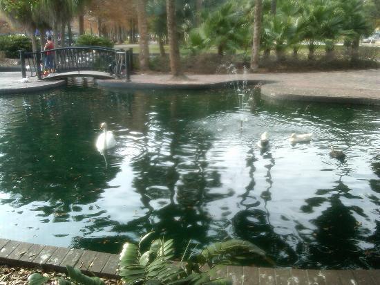 Lake Eola Park: Lake Eola Swans.