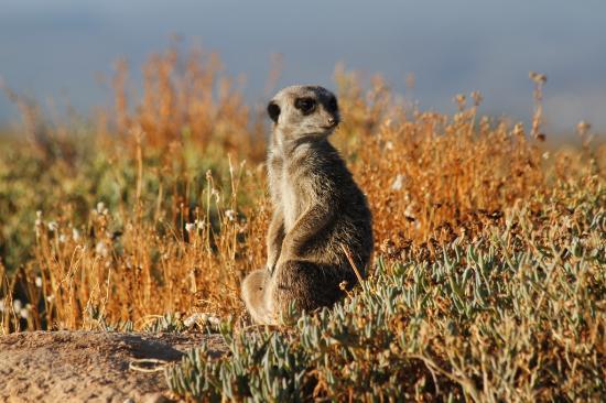 Oudtshoorn, Sudafrica: Meerkat