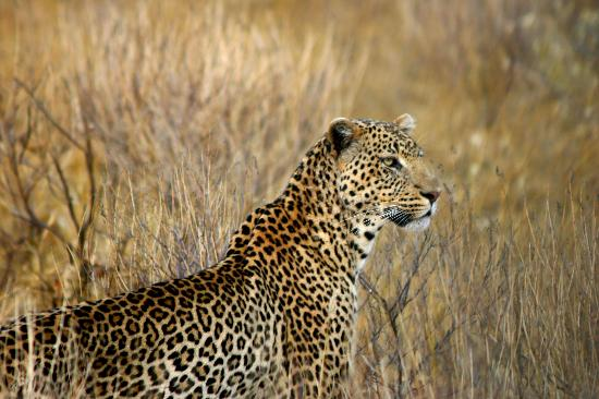 Kilaguni Serena Safari Lodge : So lucky to see this leopard nearby!