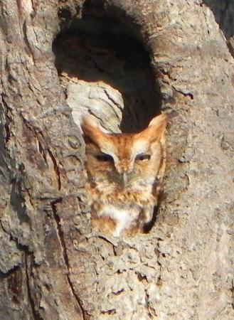 """Norman Bird Sanctuary: """"rusty""""  looks sleepy"""