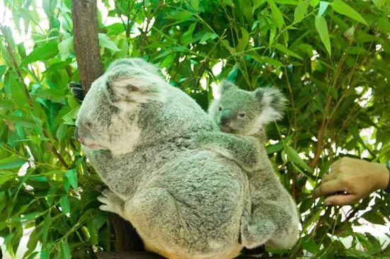 Kewarra Beach Resort & Spa: koalas at the nearby Cairns Zoo