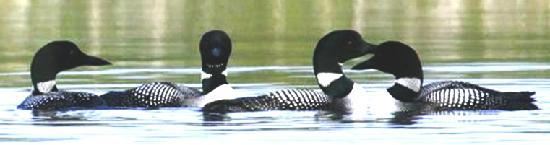 Spencer Pond Camps: Loons courtesty of Dan Kunkle