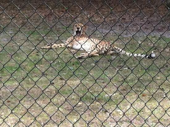 White Oak Conservation Center: a yawning cheetah