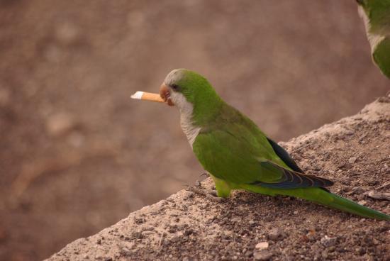 Pajara, Spain: the parrot on the beach has a fag on lol