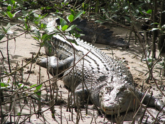 Solar Whisper Daintree River Wildlife Cruises: Large Croc on the Daintree River