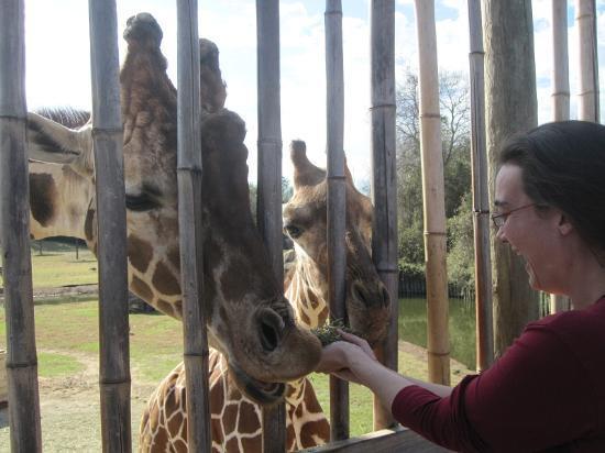 Montgomery Zoo : Feeding the Giraffes