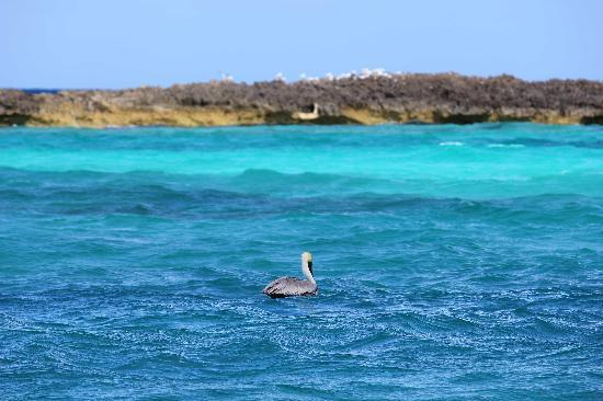 Melia Buenavista : A pelican on the right beach