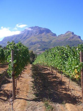 Zorgvliet Country Lodge: The vineyard
