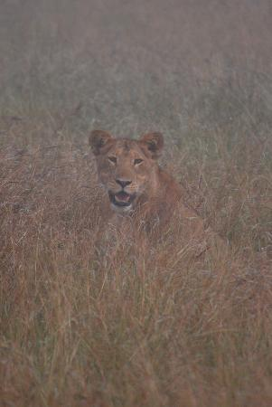 Abacus African Vacations Day Tours : Young male Lion