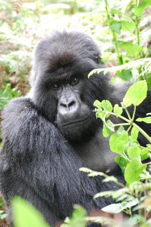 Abacus African Vacations Day Tours : Rwandan Gorilla