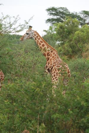 Abacus African Vacations Day Tours : Elegant Giraffe
