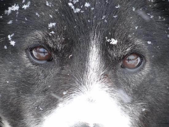 Nature's Kennel Sled Dog Racing and Adventures: I have looked into the eyes of a Husky and will never be the same. Dog's name is UGLY.  Can see