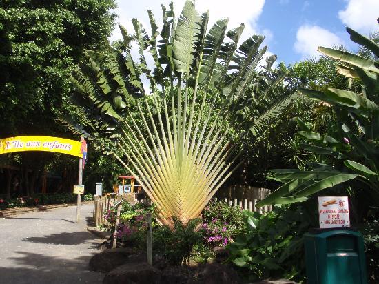Arbre du voyageur photo de jardin botanique de deshaies - Jardin botanique guadeloupe basse terre ...