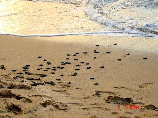 Pueblo Bonito Emerald Bay: turtle release