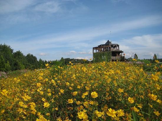 Bihoku Hillside Park: 黄色いコスモス