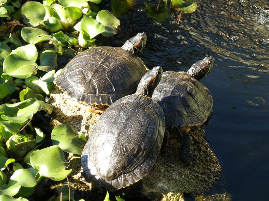 Ormond Memorial Art Museum: Turtles watching the tourists!