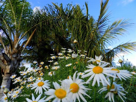 El Parque Botánico de Maspalomas: Arygantenum fructecens et cocotier ! Il  faut oser l'assiocaition