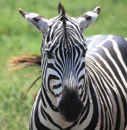 Ngorongoro Conservation Area, แทนซาเนีย: zebra