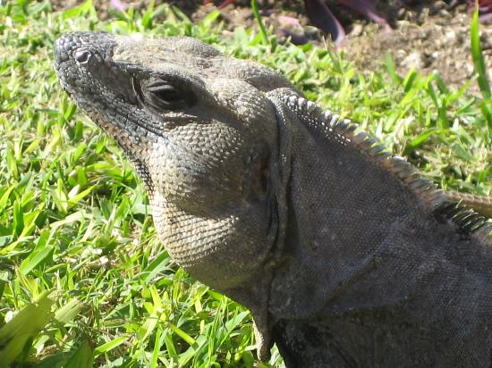 Grand Bahia Principe Tulum : Iguane..il y en a partout!