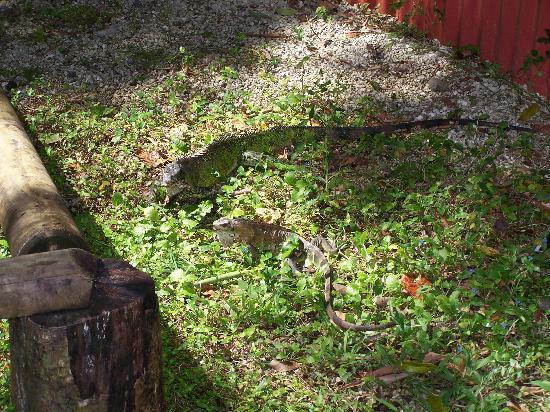 Parc des Mamelles, le Zoo de Guadeloupe: iguanes