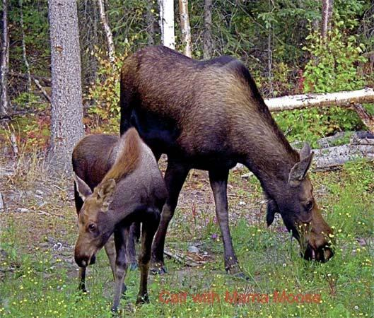 Butte's Bethel Farm and Bed and Breakfast: Moose visitors!
