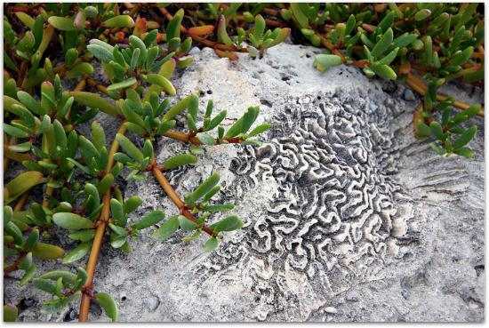 Bahia Honda State Park and Beach : Fossilized coral and vegetation