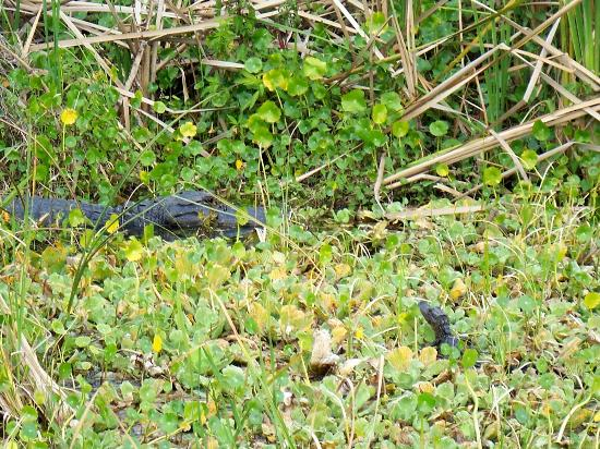 Marsh Beast Airboat Tours: Mom and baby alligator