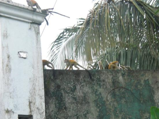 Villa Kristina Apartments: Monkeys across street from Villa
