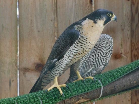 Eugene, OR: A peregrine falcon